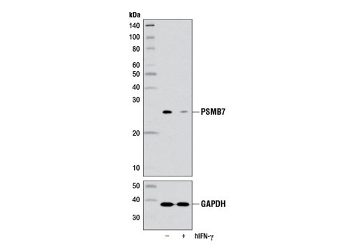 Monoclonal Antibody - PSMB7 (E1L5H) Rabbit mAb - Western Blotting, UniProt ID Q99436, Entrez ID 5695 #13207 - Ubiquitin and Ubiquitin-Like Proteins