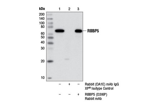 Immunoprecipitation of RBBP5 from C2C12 cell extracts using Rabbit (DA1E) mAb IgG XP<sup>®</sup> Isotype Control #3900 (lane 2) or RBBP5 (D3I6P) Rabbit mAb (lane 3). Lane 1 is 10% input. Western blot analysis was performed using RBBP5 (D3I6P) Rabbit mAb.