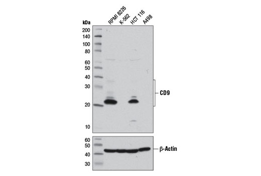 Western blot analysis of extracts from various cell lines using CD9 (D8O1A) Rabbit mAb (upper) or β-Actin (D6A8) Rabbit mAb #8457 (lower).