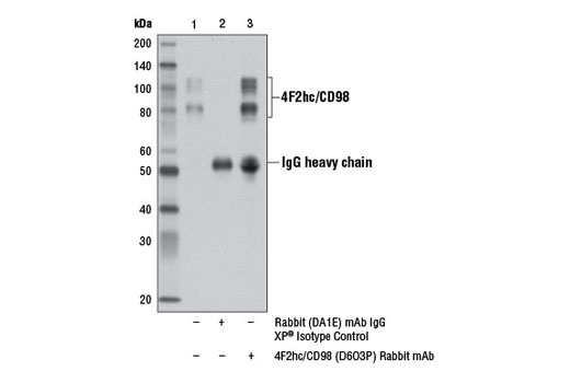 Immunoprecipitation of 4F2hc/CD98 from HeLa cell extracts using Rabbit (DA1E) mAb IgG XP<sup>®</sup> Isotype Control #3900 (lane 2) or 4F2hc/CD98 (D6O3P) Rabbit mAb (lane 3). Lane 1 is 10% input. Western blot analysis was performed using 4F2hc/CD98 (D6O3P) Rabbit mAb.