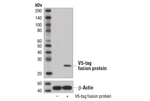 Western blot analysis of extracts from COS-7 cells, untransfected (-) or transfected with V5-tag fusion protein (+), using V5-Tag (D3H8Q) Rabbit mAb and β-Actin (D6A8) Rabbit mAb #8457.