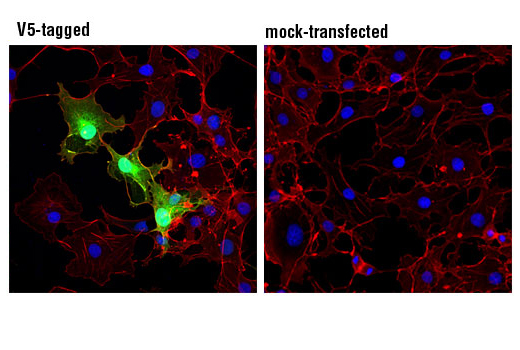 Confocal immunofluorescent analysis of COS -7 cells, transfected with a V5-tagged construct (left) or mock transfected (righ) using V5-Tag (D3H8Q) Rabbit mAb (green). Actin filaments were labeled with DY-554 phalloidin #13054 (red). Blue pseudocolor = DRAQ5<sup>®</sup> #4084 (fluorescent DNA dye).