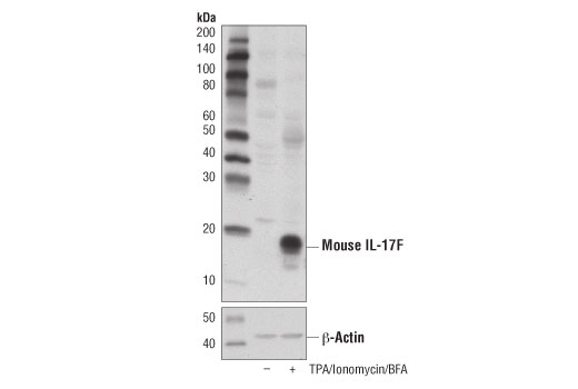 Western blot analysis of EL4 cells, untreated (-) or treated with TPA #4174 (50 ng/ml), Ionomycin, Calcium Salt #9995 (500 ng/ml), and Brefeldin A #9972 (500 ng/ml) overnight (+), using IL-17F (D3M4D) Rabbit mAb (Mouse Specific) (upper) and β-Actin (D6A8) Rabbit mAb #8457 (lower).