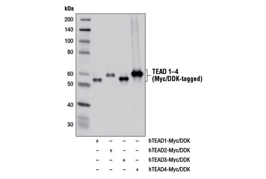 Western blot analysis of extracts from COS-7 cells transfected with a construct expressing either Myc/DDK-tagged full-length human TEAD1 (hTEAD1-Myc/DDK;+), Myc/DDK-tagged full-length human TEAD2 (hTEAD2-Myc/DDK;+), Myc/DDK-tagged full-length human TEAD3 (hTEAD3-Myc/DDK;+), or Myc/DDK-tagged full-length human TEAD4 (hTEAD4-Myc/DDK;+), using Pan-TEAD (D3F7L) Rabbit mAb.