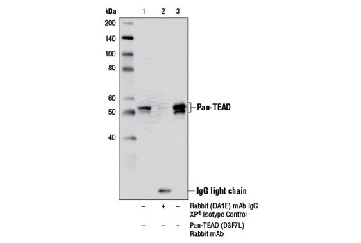 Immunoprecipitation of TEAD proteins from COS-7 cell extracts using Rabbit (DA1E) mAb IgG XP® Isotype Control #3900 (lane 2) or Pan-TEAD (D3F7L) Rabbit mAb (lane 3). Lane 1 is 10% input. Western blot analysis was performed using Pan-TEAD (D3F7L) Rabbit mAb.