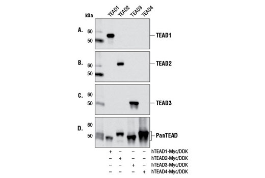Western blot analysis of extracts from COS-7 cells transfected with a construct expressing either Myc/DDK-tagged full-length human TEAD1 (hTEAD1-Myc/DDK;+), Myc/DDK-tagged full-length human TEAD2 (hTEAD2-Myc/DDK;+), Myc/DDK-tagged full-length human TEAD3 (hTEAD3-Myc/DDK;+), or Myc/DDK-tagged full-length human TEAD4 (hTEAD4-Myc/DDK;+), using TEAD1 (D9X2L) Rabbit mAb #12292 (A), TEAD2 Antibody #8870 (B), TEAD3 Antibody (C), or Pan-TEAD (D3F7L) Rabbit mAb #13295 (D).
