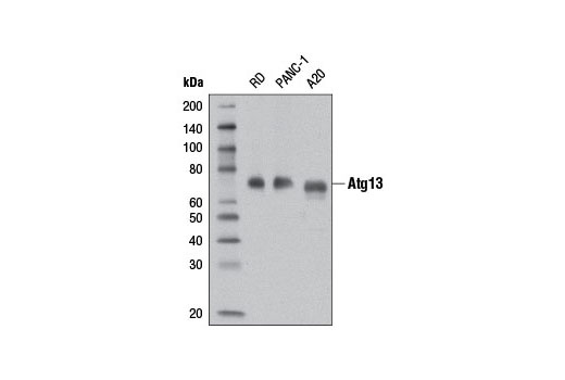 Western blot analysis of extracts from RD, PANC-1, and A20 cells using Atg13 (D4P1K) Rabbit mAb.