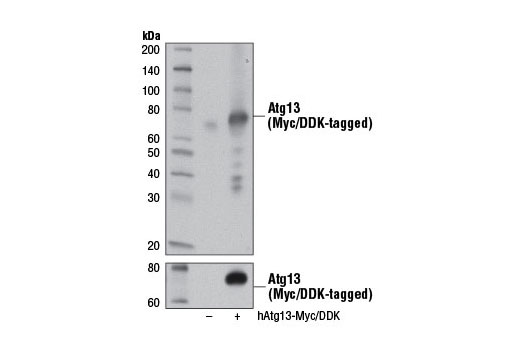 Western blot analysis of extracts from 293T cells, mock transfected (-) or transfected with a construct expressing Myc/DDK-tagged full-length human Atg13 (hAtg13-Myc/DDK; +), using Atg13 (D4P1K) Rabbit mAb (upper) or Myc-Tag (71D10) Rabbit mAb #2278 (lower).