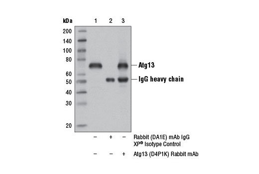 Immunoprecipitation of Atg13 from RD cell extracts using Rabbit (DA1E) mAb IgG XP<sup>®</sup> Isotype control #3900 (lane 2) or Atg13 (D4P1K) Rabbit mAb (lane 3). Lane 1 is 10% input. Western blot analysis was performed using Atg13 (D4P1K) Rabbit mAb.