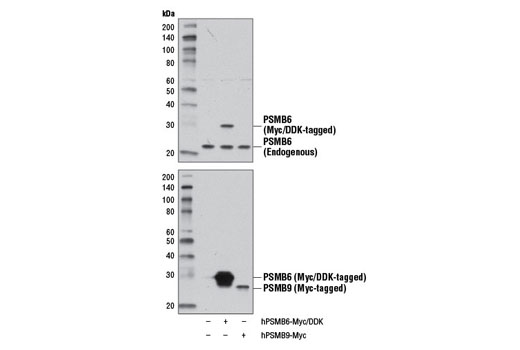Western blot analysis of extracts from 293T cells, mock transfected (-) or transfected with constructs expressing Myc/DDK-tagged full-length human PSMB6 (hPSMB6-Myc/DDK; +) or Myc-tagged full-length human PSMB9 (hPSMB9-Myc; +), using PSMB6 (E1K9O) Rabbit mAb (upper) or Myc-Tag (71D10) Rabbit mAb #2278 (lower).