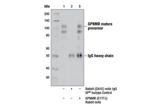 Monoclonal Antibody Immunoprecipitation GPNMB