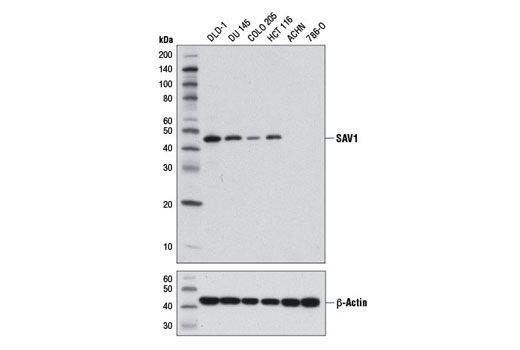 Western blot analysis of extracts from various cell lines using SAV1 (D6M6X) Rabbit mAb (upper) and β-Actin (D6A8) Rabbit mAb #8457 (lower).