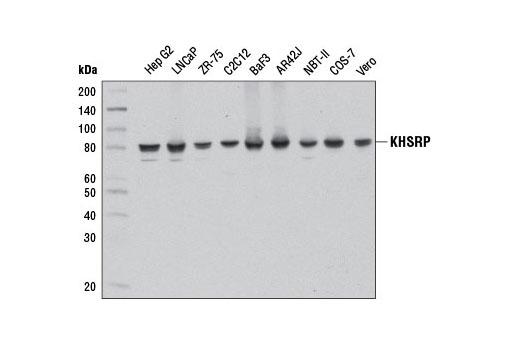Human KHSRP