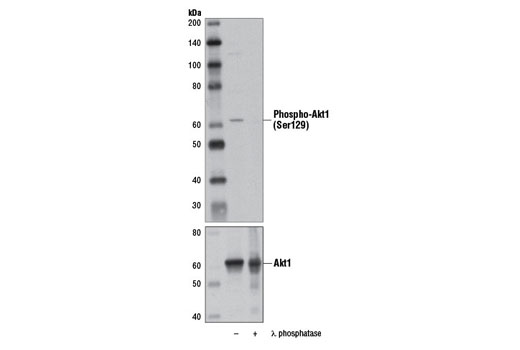 Monoclonal Antibody - Phospho-Akt1 (Ser129) (D4P7F) Rabbit mAb, UniProt ID P31749, Entrez ID 207 #13461 - #13461
