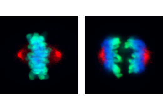 Confocal immunofluorescent analysis of mitotic HeLa cells during metaphase (left) and anaphase (right) using Phospho-Aurora A (Thr288) (C39D8) Rabbit mAb (red) and Phospho-Histone H3 (Ser10) (6G3) Mouse mAb #9706 (green). Blue pseudocolor = DRAQ5<sup>®</sup> #4084 (fluorescent DNA dye).