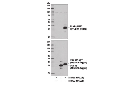 Western blot analysis of extracts from 293T cells, mock transfected (-) or transfected with constructs expressing Myc/DDK-tagged full-length human PSMB5 (hPSMB5-Myc/DDK; +) or Myc/DDK-tagged full-length human PSMB8 (hPSMB8-Myc/DDK; +), using PSMB8/LMP7 (D1K7X) Rabbit mAb (upper) and DYKDDDDK Tag Antibody #2368 (lower).