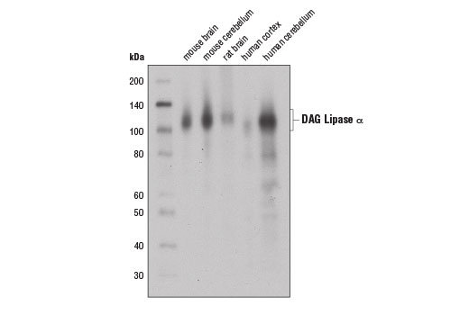 Western blot analysis of extracts from various tissues using DAG Lipase α (D3G8H) Rabbit mAb.