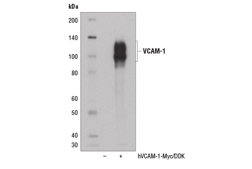 Monoclonal Antibody Western Blotting Amine Oxidase Activity - count 3