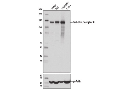 Western blot analysis of extracts from various cell lines using Toll-like Receptor 9 (D9M9H) XP<sup>®</sup> Rabbit mAb (upper) and β-Actin (D6A8) Rabbit mAb #8457 (lower).