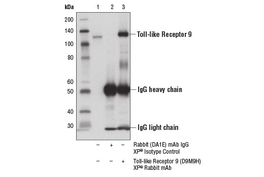 Immunoprecipitation of Toll-like receptor 9 from Ramos cell extracts using Rabbit (DA1E) mAb IgG XP<sup>®</sup> Isotype Control #3900 (lane 2) or Toll-like Receptor 9 (D9M9H) XP<sup>®</sup> Rabbit mAb (lane 3). Lane 1 is 10% input. Western blot analysis was performed using Toll-like Receptor 9 (D9M9H) XP<sup>®</sup> Rabbit mAb.