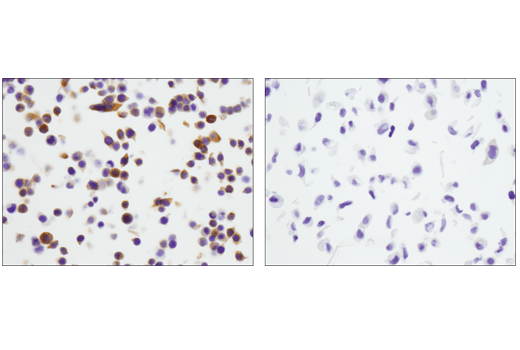 Immunohistochemical analysis of paraffin-embedded HT-29 (left, positive) and A549 (right, negative) cell pellets using STING (D2P2F) Rabbit mAb.