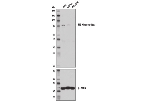 Western blot analysis of extracts from MCF7 cells and MEF wt and P85α (-/-) cells using PI3 Kinase p85α (6G10) Mouse mAb (upper) and β-Actin (13E5) Rabbit mAb #4970 (lower).