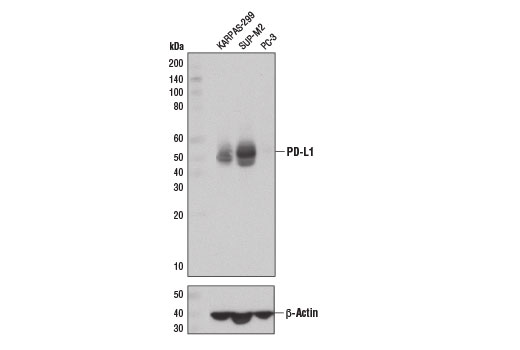 Western blot analysis of extracts from KARPAS-299, SUP-M2, and PC-3 cells using PD-L1 (E1L3N<sup>®</sup>) XP<sup>®</sup> Rabbit mAb (upper) and β-Actin (D6A8) Rabbit mAb #8457 (lower).