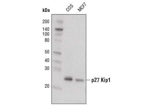 Western blot analysis of extracts from COS and MCF7 cells using p27 Kip1 (D69C12) XP<sup>®</sup> Rabbit mAb (Biotinylated).
