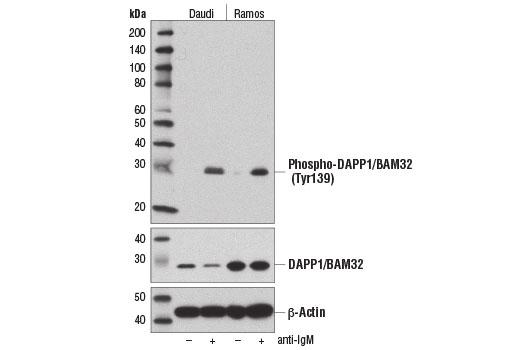Monoclonal Antibody Western Blotting DAPP1/BAM32