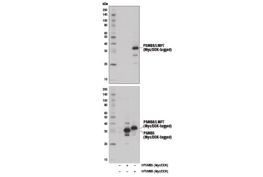 Western blot analysis of extracts from 293T cells, mock transfected (-) or transfected with constructs expressing Myc/DDK-tagged full-length human PSMB5 (hPSMB5-Myc/DDK; +) or Myc/DDK-tagged full-length human PSMB8 (hPSMB8-Myc/DDK; +), using PSMB8/LMP7 (1A5) Mouse mAb (upper) and DYKDDDDK Tag Antibody #2368 (lower).