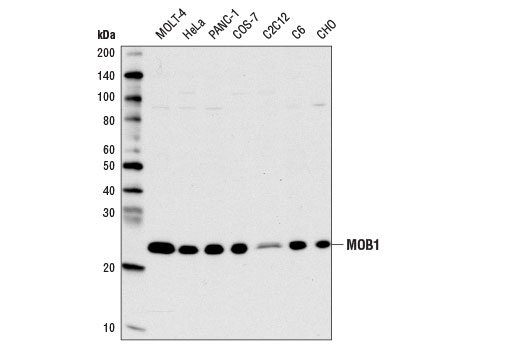 Western blot analysis of extracts from various cell lines using MOB1 (E1N9D) Rabbit mAb.
