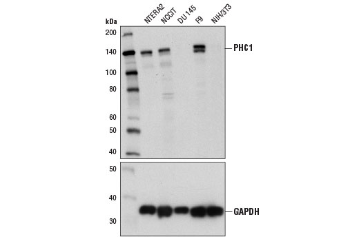 Western blot analysis of extracts from various cell lines using PHC1 (1F3F3) Mouse mAb (upper) and GAPDH (D16H11) XP<sup>®</sup> Rabbit mAb #5174 (lower). As expected, PHC1 protein is not expressed in DU 145 or NIH/3T3 cells.