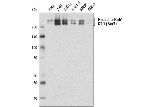 Western blot analysis of extracts from various cell lines using Phospho-Rpb1 CTD (Ser7) (E2B6W) Rabbit mAb.