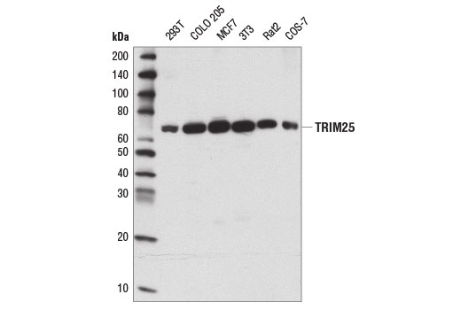 Western blot analysis of extracts from various cell lines using TRIM25 (D9T7G) Rabbit mAb.