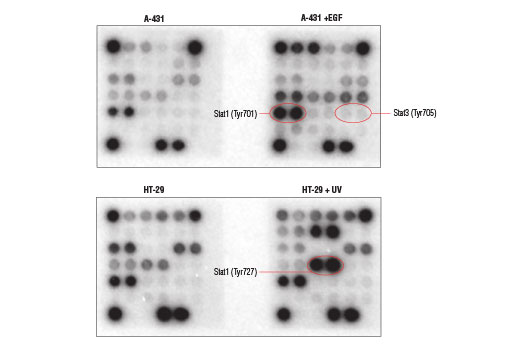 Image 1: PathScan® Immune Cell Signaling Antibody Array Kit (Chemiluminescent Readout)