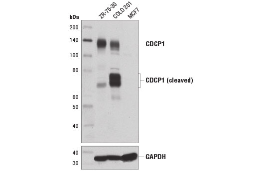 Monoclonal Antibody - CDCP1 (D1W9N) Rabbit mAb - Immunoprecipitation, Western Blotting, UniProt ID Q9H5V8, Entrez ID 64866 #13794