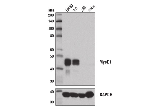 Western blot analysis of extracts from various cell lines using MyoD1 (D8G3) XP<sup>®</sup> Rabbit mAb (upper) and GAPDH (D16H11) XP<sup>®</sup> Rabbit mAb #5174 (lower). As expected, 293 and HeLa cells are negative for MyoD1 protein.