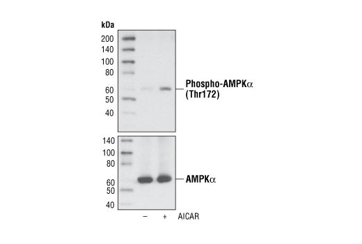 Monoclonal Antibody Western Blotting ampk-alpha2 - count 9