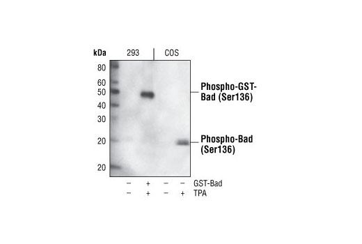 Western Blotting Image 1: Phospho-Bad (Ser136) (185D10) Rabbit mAb