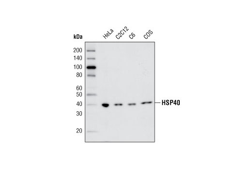 Western blot analysis of extracts from HeLa, C2C12, C6 and COS cells using HSP40 (C64B4) Rabbit mAb.