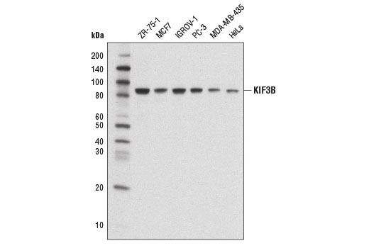 Western blot analysis of extracts from various cell lines using KIF3B Antibody.