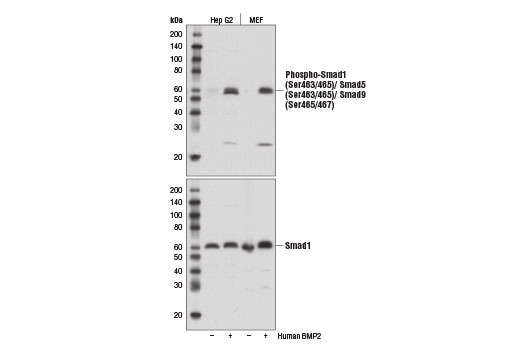 Western blot analysis of extracts from Hep G2 or MEF cells, untreated (-) or treated with Human BMP2 #4697 (50 ng/ml, 30 min; +), using Phospho-Smad1 (Ser463/465)/ Smad5 (Ser463/465)/ Smad9 (Ser465/467) (D5B10) Rabbit mAb (upper) and Smad1 (D59D7) XP<sup>®</sup> Rabbit mAb #6944 (lower).