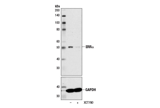 Western blot analysis of extracts from BT-474 cells, untreated (-) or XCT790-treated (5 μM, 24 hr; +), using ERRα (E1G1J) Rabbit mAb (upper) and GAPDH (D16H11) XP<sup>®</sup> Rabbit mAb #5174 (lower). XCT790 is a selective inverse agonist of ERRα that induces its proteasomal degradation (10,11).