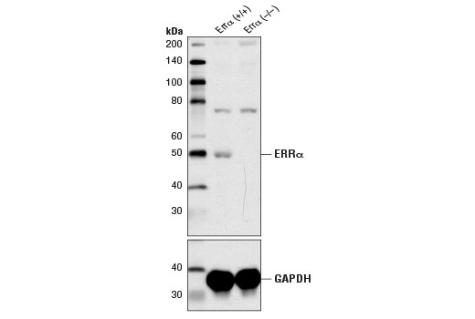 Western blot analysis of heart tissue extracts from ERRα wildtype (+/+) and ERRα knockout (-/-) mice using ERRα (E1G1J) Rabbit mAb (upper) and GAPDH (D16H11) XP<sup>®</sup> Rabbit mAb #5174 (lower). Heart tissue was kindly provided by Dr. Vincent Giguere of McGill University.