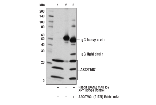 Immunoprecipitation of ASC/TMS1 from THP-1 cell extracts using Rabbit (D1AE) mAb XP<sup>®</sup> Isotype Control #3900 (lane 2) or ASC/TMS1 (E1E3I) Rabbit mAb (lane 3). Lane 1 is 10% input. Western blot was performed using ASC/TMS1 (E1E3I) Rabbit mAb.