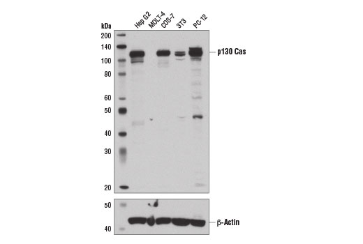 Western blot analysis of extracts from various cell lines using p130 Cas (E1L9H) Rabbit mAb (upper) and β-Actin (D6A8) Rabbit mAb #8457 (lower).