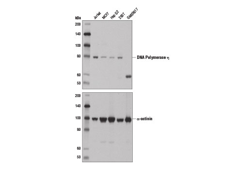 Human Dna-Directed DNA Polymerase Activity - count 14
