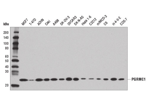 Western blot analysis of extracts from various cell lines using PGRMC1 (D6M5M) XP<sup>®</sup> Rabbit mAb.