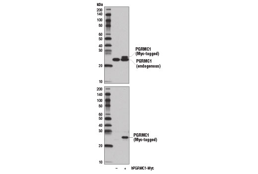 Western blot analysis of extracts from 293T cells, mock transfected (-) or transfected with a construct expressing Myc-tagged full-length human PGRMC1 protein (hPGRMC1-Myc; +), using PGRMC1 (D6M5M) XP<sup>®</sup> Rabbit mAb (upper) and Myc-Tag (71D10) Rabbit mAb #2278 (lower).