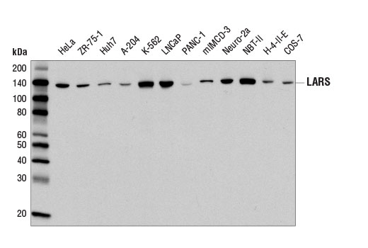 Western blot analysis of extracts from various cell lines using LARS Antibody.